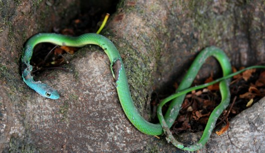 Mamba verde 2