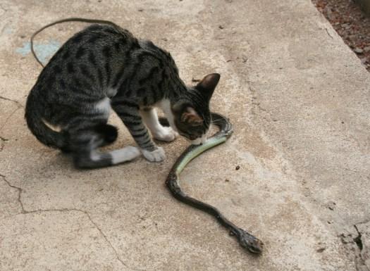Gato mamba